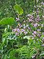 Thalictrum rochebrunnianum (1).jpg