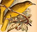 Thapsinillas longirostris platenae 1898.jpg