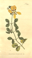 The Botanical Magazine, Plate 372 (Volume 11, 1797).png