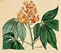 The Botanical register consisting of coloured figures of (1815) (14770007831).jpg