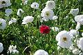 The Flower Fields at Carlsbad Ranch 90 2014-04-28.jpg