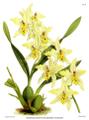 The Orchid Album-01-0131-0043-Odontoglossum Alexandrae flaveolum.png