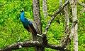 The proud peacock.jpg