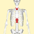 Thoracic vertebrae frontal2.png