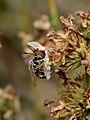 Thrincohalictus prognathus male 1.jpg