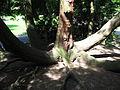 Thuja plicata 'Zebrina' trunc 02 by Line1.jpg