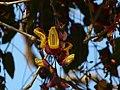 Thunbergia mysorensis (2192982290).jpg