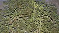 Thymus (plant).jpg