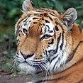 Tiger (4866449383).jpg