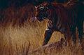 Tigress (Panthera tigris) with its kill (14562746540).jpg