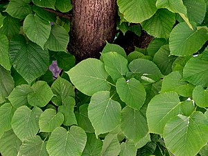 Tilia - Leaves and trunk