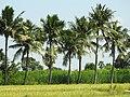 Tiruvannamalai field.jpg