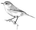 Tjiftjaf Phylloscopus collybita Jos Zwarts 2.tif
