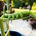 Tobacco Hornworm Manduca Sexta.jpg