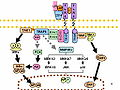 Toll-like receptor pathways revised.jpg