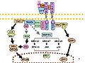 Toll-like receptor pathways revised.jpg