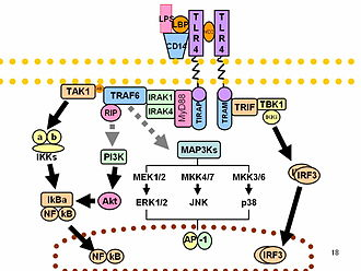 Lipopolysaccharide - Toll-like receptors of the innate immune system recognize LPS and trigger an immune response.