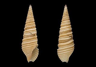 <i>Tomopleura tricincta</i> Species of gastropod