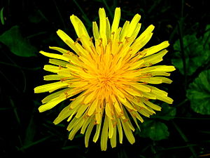 English: Close up photo of a dandelion.