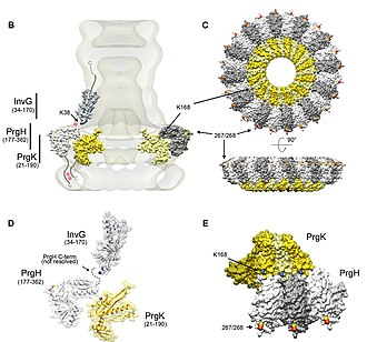Type three secretion system - The topology and organization of the Salmonella needle complex.
