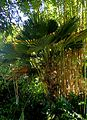 Trachycarpus fortunei kz2.jpg