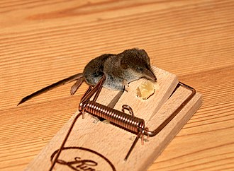 Shrew - Trapped Shrew (Clearly visible the long nose)
