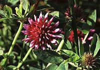 Trifoliumwormskioldii