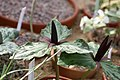 Trillium angustipetalum 02.jpg