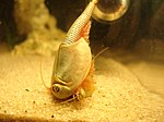 Triops longicaudatus eating his companion - Cannibalism.jpg