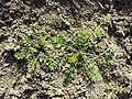 Tripleurospermum inodorum sl18.jpg