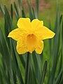 Trompetnarcis (Narcissus) 02.JPG