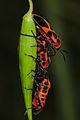 Tropidothorax leucopterus.jpg