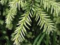 Tsuga canadensis (needles).jpg