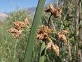 Tule, Schoenoplectus acutus var. occidentalis (16749234921).jpg