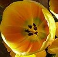 Tulipano giallo.JPG