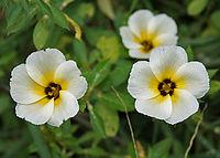Turnera ulmifolia 'Elegans' in Hyderabad, AP W IMG 0213
