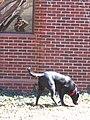 Tux the dog hunts a scent (Philadelphia, 6 Feb 2007).jpg