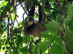 Two-toed sloth Costa Rica.jpg