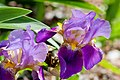 Two Purple Iris PLT-FL-IR-7.jpg