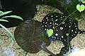 Two sting rays (2688772809).jpg