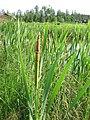 Typha latifolia 3-eheep (5098005144).jpg