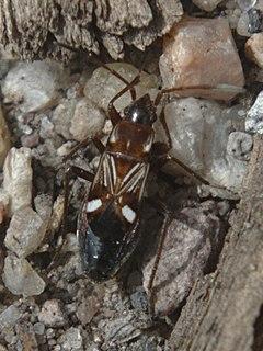<i>Uhleriola</i> genus of insects