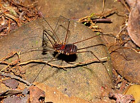 Description de l'image Unicorn Harvestman (Epedanidae) (15485761431).jpg.