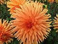 Unidentified Dahlia 2007 10010407.jpg