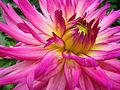 Unidentified Pink Flower Closeup 2048px.jpg