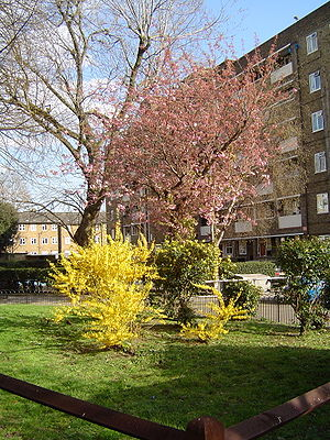 Urban spring blooms (cherry and forsythia)