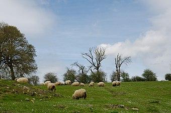 Urbasa y Andía, ovejas.jpg