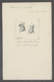 Urceolaria cirrata - - Print - Iconographia Zoologica - Special Collections University of Amsterdam - UBAINV0274 113 21 0014.tif