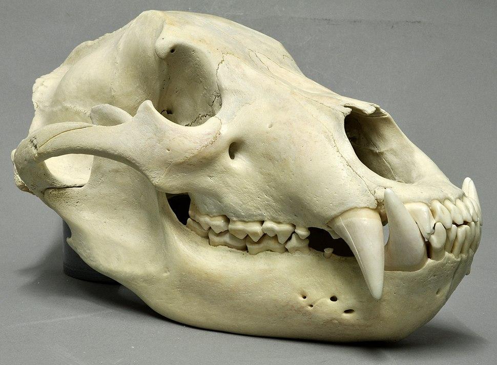 Ursus arctos 01 MWNH 145 (cropped)