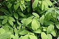 Uvularia grandiflora 6zz.jpg